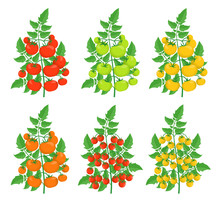 Different Varieties Of Tomatoes. Yellow Red Cherry Green Tomato Plant. Greenhouses Bush Harvest. Flat Vector.