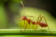 Red Ants Are Looking For Food On Green Branches. Work Ants Are Walking On The Branches To Protect The Nest In The Forest.