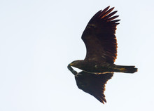Adult Lesser Spotted Eagle (Cl...