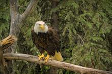 A Bald Eagle Perched On A Log.