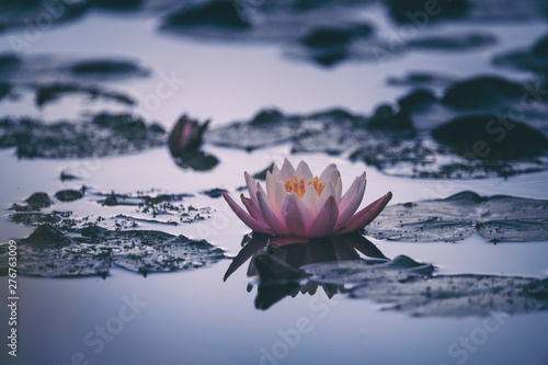 La pose en embrasure Fleur de lotus waterlily or lotus flower in pond