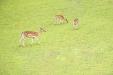 Three Spotted Deers Feeding On...