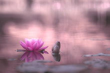Waterlily Or Lotus Flower In Pond