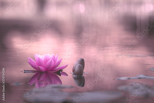 La pose en embrasure Zen waterlily or lotus flower in pond