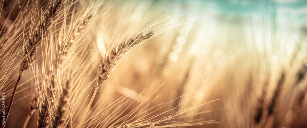 Fototapeta Close-up Of Ripe Golden Wheat With Vintage Effect, Clouds And Sky - Harvest Time Concept