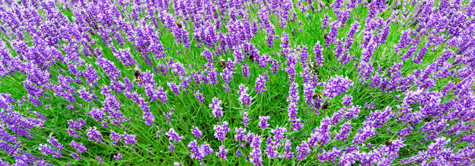 Panel Szklany Kwiaty Blossoming Lavender flowers background