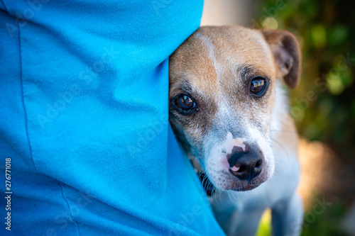 Obraz na plátne Close up of a sad looking small dog nestled up to a woman in a blue knit shirt