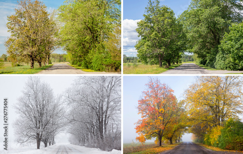 Fototapeta Beautiful collage of 4 seasons, different pictures of an tree avenue, same spot, place. Spring foliage, green fresh bright summer day, foggy morning with yellow autumn leaves, snowstorm in winter.  obraz