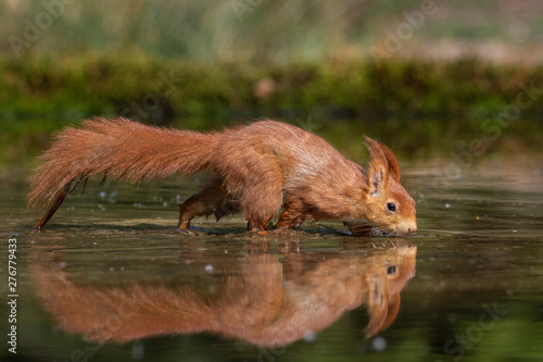 Tuinposter Eekhoorn Eurasian Red Squirrel in the water