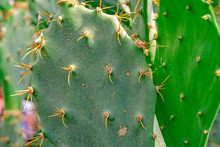 Prickly Pear With Many Spines And Large Leaves
