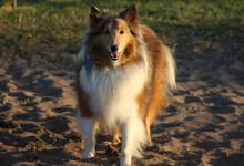 A Shetland Sheepdog, Or Shelti...