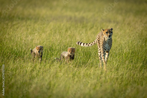 Canvas Print Female cheetah and two cubs cross savannah