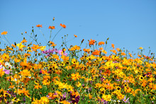 Wildflowers Under A Clear Blue Sky