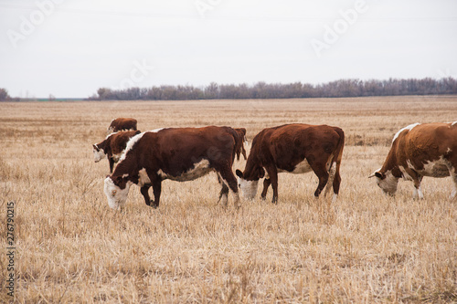 Acrylic Prints Cow Cows in a farm. Dairy cows