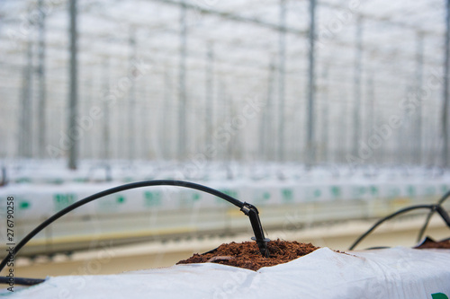 Fotobehang Rows of tomato plants growing inside big industrial greenhouse