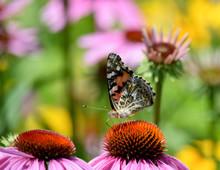 Buckeye Butterfly_on_Echinacea