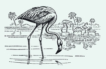 Group Of American Flamingos, Phoenicopterus Ruber Standing In The Water And Looking For Food. Illustration After A Vintage Engraving From The Early 20th Century.. Editable In Layers