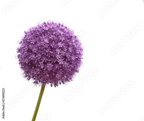 Fotografie, Tablou a macro closeup of a curious funny purple pink garden Allium flower cluster from