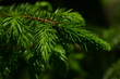 Zweig einer Fichte mit frischen Nadeln im Frühling