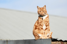 Ginger Red Tabby Cat Sitting On A Tin Roof On A Sunny Day Looking At The  Camera.