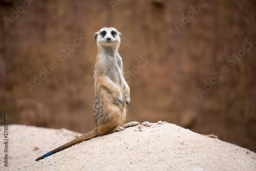 Photo cute meerkat ( Suricata suricatta )