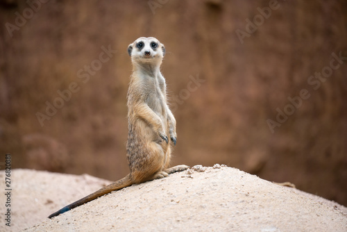 Fotografia, Obraz cute meerkat ( Suricata suricatta )