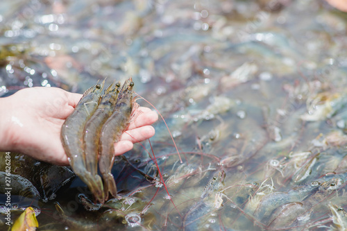 Photo Hand holding white shrimp On a blurred background of white shrimp in a bucket