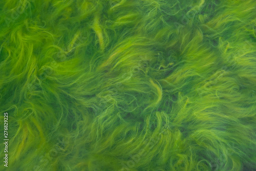 Spoed Foto op Canvas Groene Green seaweed and blooming water. Close-up of lake surface.