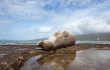 Sunbathing Monk Seal