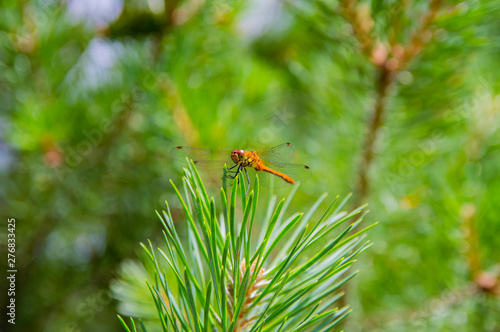 Fototapeta  Dragonfly insect on green needles of pine.