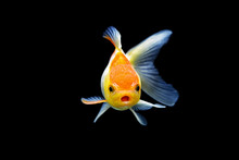 Goldfish Isolated On Black Bac...