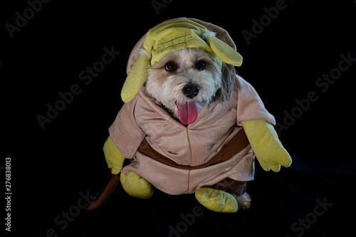 Photo  A dog is dressed up as Yoda from the movie Star Wars for Halloween