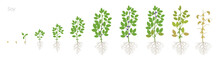 Growth Stages Of Soybean Plant...