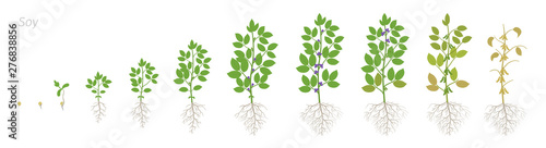 Fototapeta Growth stages of Soybean plant with roots. Soya bean phases set. Glycine max. Animation progression. obraz