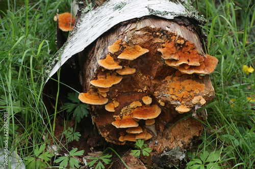Obraz na plátne  Pycnoporellus fulgens, an orange bracket fungus growing on birch in Finland
