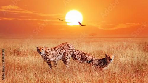 Gepardy w afrykańskiej sawannie przy zmierzchem. Dzikie życie Afryki.