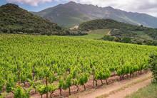 Vineyards In Patrimonio, Corsica