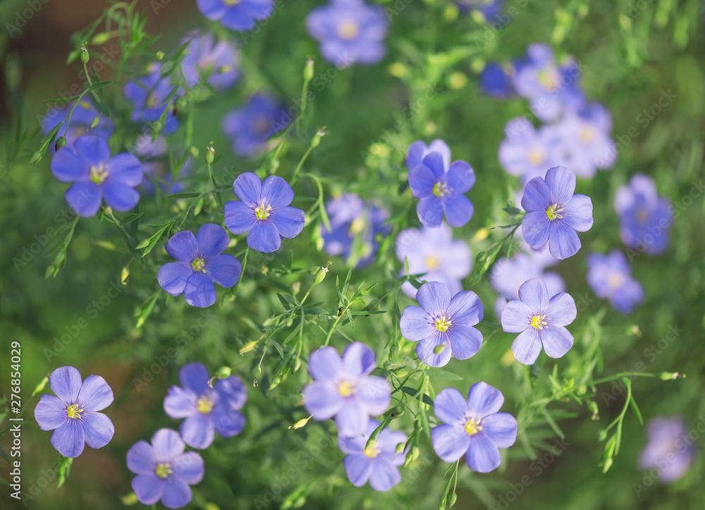Fototapety, obrazy: Blue flowers of oil flax