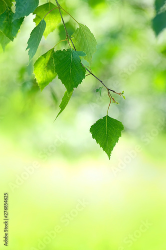 Autocollant pour porte Bosquet de bouleaux Bright spring summer background with birch leaves in sunlight. abstract Light green natural background. young leaves of birch outdoors. backdrop for design. soft selective focus.