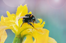A Large Bee Sits On A Beautiful Bright Yellow Flower . Close-up, Copy Space. Background