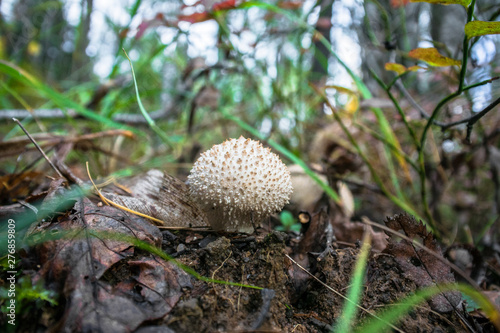 Close up of young Lycoperdon perlatum mushroom known as common puffball Canvas Print