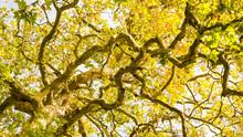 Réseau De Branches Et écorce D'un Platane Centenaire, Vers L'automne. Bord De Sèvre, Nantes, Persagotière