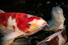 Koi Or More Specifically Jinli...