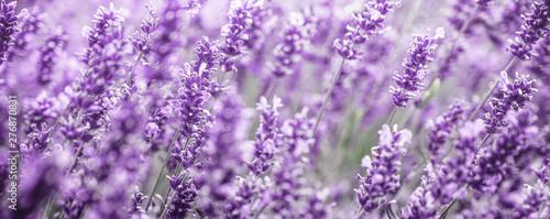 Fototapety, obrazy: Purple Lavender flowers background