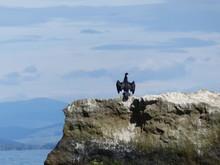 Black Bird Cormorant On A Rock