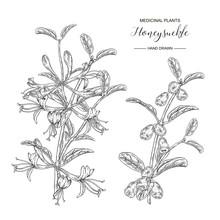 Honeysuckle Branch With Flower...