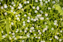 Small White Flowers In Nature. Horisontal Photo Background Wallpaper.
