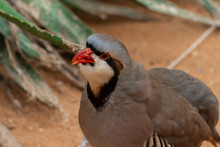 A Chukar Partridge (Alectoris ...