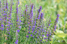 Hyssopus Officinalis, Known As Hyssop, Is A Herbaceous Flowering Plant Used In Traditional Medicine And Cooking, As Well As Beekeepers For The Production Of Rich Aromatic Honey