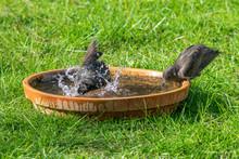 Starlings (Sturnus Vulgaris) B...